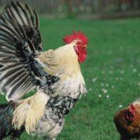 Курка - не птах, але злетіти може