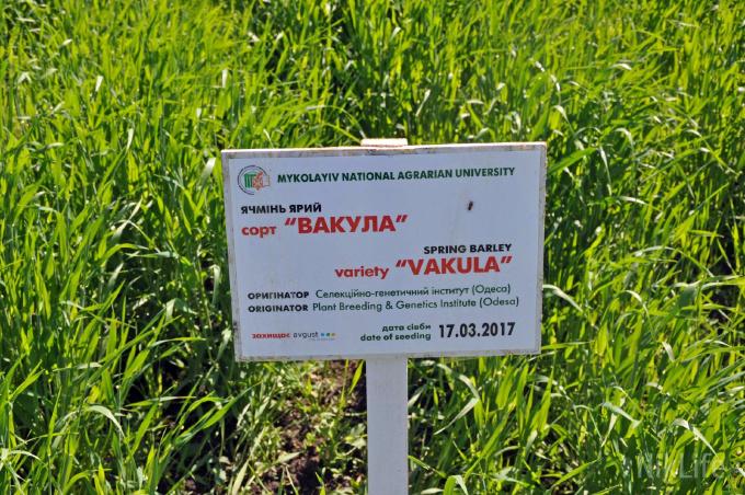 На Миколаївщині на Дні поля представили 169 нових сортів пшениці та ячменю
