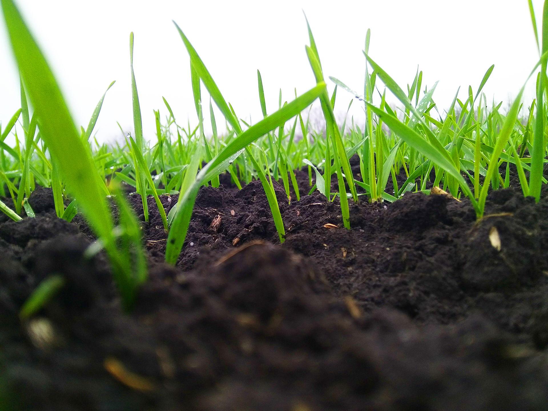 НАУКОВЦІ РАДЯТЬ: Стан озимих зернових в ІІІ декаді листопада, 2017 рік.