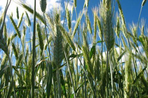 Стан розвитку рослин озимої пшениці (дані на 04.06.2018)