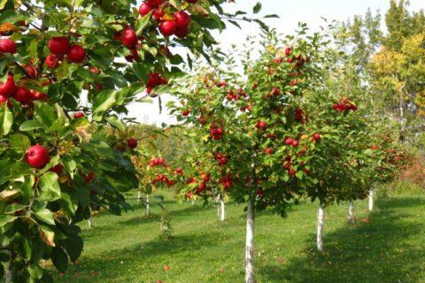 Державна підтримка розвитку хмелярства, закладення молодих садів, виноградників та ягідників і нагляд за ними