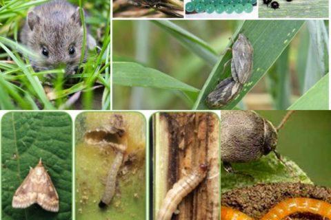 Прогноз розвитку та поширення шкідників і хвороб  протягом весняно-літнього періоду 2019 року