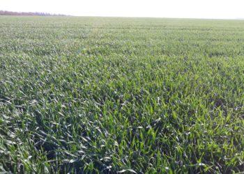 ТОВ Нова Нива Озима пшениця, добрий стан