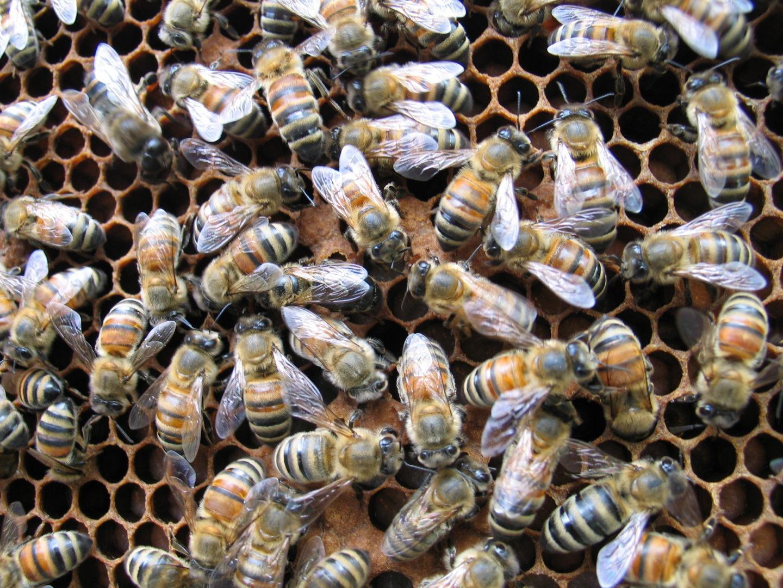 Методичні рекомендації щодо попередження отруєння бджіл: покрокові дії пасічника