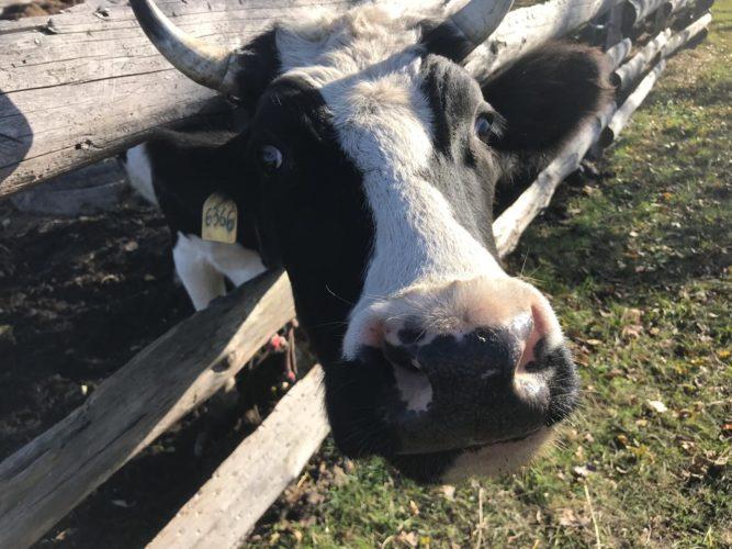Україна буде імпортувати живі тварини та продукції тваринництва за новими міжнародними правилами