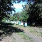Матковивідна справа у бджільництві (05)
