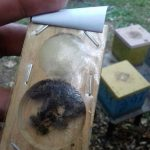 Матковивідна справа у бджільництві (08)