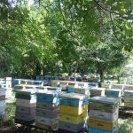 Матковивідна справа у бджільництві (09)