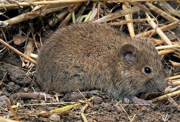 На території області триває розвиток та шкодочинність мишоподібних гризунів