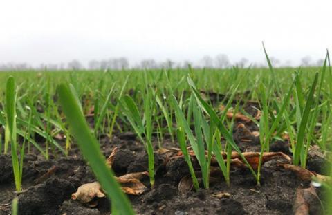 Стан посівів пшениці озимої на 12.12.2019