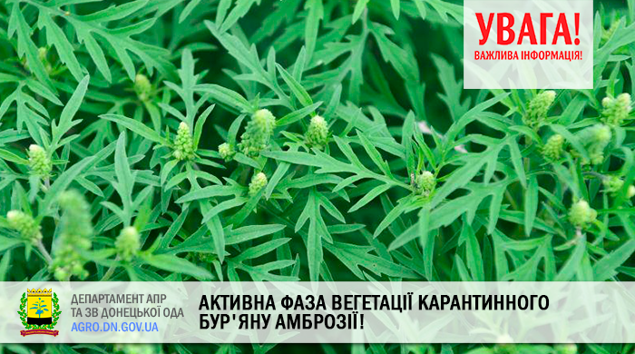 Увага! активна фаза вегетації карантинного бур'яну Амброзії!